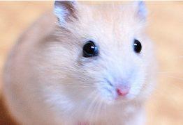 hamster.